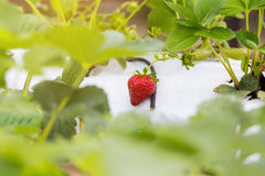 De industriële groei van aardbeien, de rij van de hydrocultuuraardbei binnen royalty-vrije stock afbeeldingen
