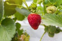 De industriële groei van aardbeien, de rij van de hydrocultuuraardbei binnen stock foto's