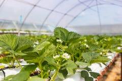 De industriële groei van aardbeien, de rij van de hydrocultuuraardbei binnen royalty-vrije stock foto