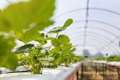 De industriële groei van aardbeien, de rij van de hydrocultuuraardbei binnen royalty-vrije stock fotografie