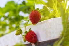 De industriële groei van aardbeien, de rij van de hydrocultuuraardbei binnen stock foto