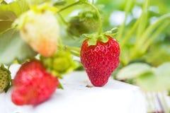 De industriële groei van aardbeien, de rij van de hydrocultuuraardbei binnen stock fotografie