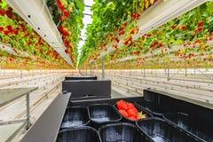 De industriële groei van aardbeien in een serre Stock Afbeeldingen