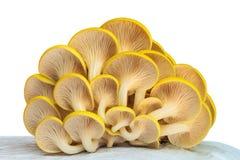 De industriële groei van oesterpaddestoelen op wit plastiek stock foto
