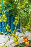De industriële groei van tomaten in een serre stock foto