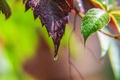 De industrie van de wijnbouwwijn Dalingen van regenwater op groene druivenbladeren in wijngaard stock afbeeldingen