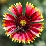 De inheemse bloem Gaillardia stock afbeeldingen