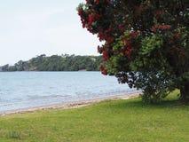 De inheemse Kerstboom van Nieuw Zeeland Royalty-vrije Stock Fotografie