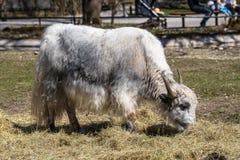 De inhemska yakna, Bosmutusgrunniens i zoo royaltyfri bild