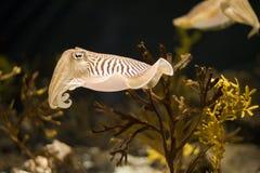 De inktvissen sluiten Royalty-vrije Stock Fotografie