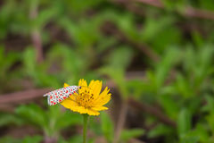 De insecten hebben rode vlekken op witte vleugels op gele bloem hangen Stock Foto's
