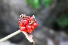 De insecten op de rode zaden Stock Foto's