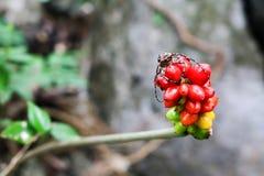 De insecten op de rode zaden Stock Foto