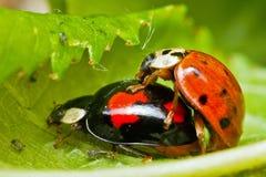 De insecten van de liefde Stock Fotografie