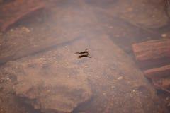 De insecten van een waterstrider op de oppervlakte van het water Royalty-vrije Stock Foto