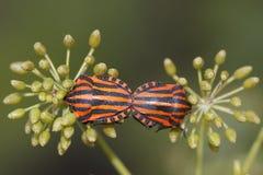 De insecten van het schild Stock Fotografie