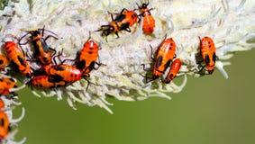 De insecten van Milkweed Stock Fotografie