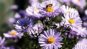 De insecten verzamelen nectar van bloeiende bloemen