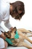 De inspectie van de hond Stock Afbeeldingen