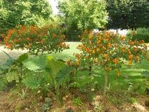 De installatie bloeit van de de tuinaard van het de zomerpark het seizoenweer Stock Afbeeldingen