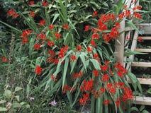 De installatie die van Crocosmialucifer in de zomer het UK bloeien stock afbeelding