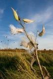 De installatie en de zaden van Milkweed Stock Afbeeldingen