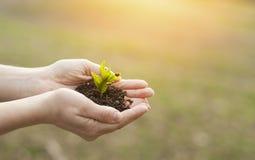De installatie groeit op de handen van een mens in het zonlicht Het concept het leven en het planten van bomen stock fotografie