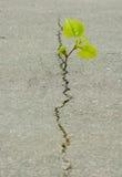 de installatie groeit van een barst in het asfalt stock afbeelding