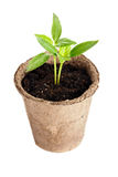 De installatie groeit van een vruchtbare grond is geïsoleerd op een wit Royalty-vrije Stock Afbeelding