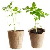 De installatie groeit van een vruchtbare grond is geïsoleerd op een wit Stock Foto