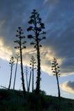 De Installatie Slihouette van de agave Stock Afbeeldingen