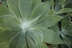 De installatie van agaveattenuata Stock Fotografie