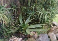 De installatie van aloëvera in de botanische tuin van Bali royalty-vrije stock afbeelding