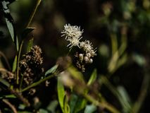 De installatie van Baccharissalicifolia bij Balboameer in San Fernando Valley, Los Angeles royalty-vrije stock foto's