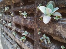 De installatie van Bryophyllumdaigremontiana groeit op vuile muur Stock Fotografie