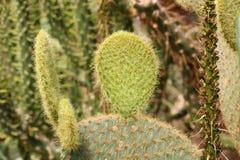 De Installatie van de cactusvijgencactus met Stekels sluit omhoog Groene installatie met stekels en droge bloemen Indische fig.vi royalty-vrije stock afbeeldingen