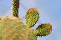 De Installatie van de cactusvijgencactus met Stekels sluit omhoog Groene installatie met stekels en droge bloemen Indische fig.vi stock fotografie