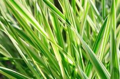 De installatie van Carex (aardachtergrond) Stock Afbeeldingen