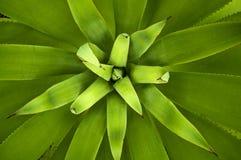 De installatie van de agave stock afbeeldingen