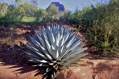 De installatie van de agave Stock Afbeelding