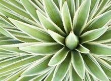 De Installatie van de agave Royalty-vrije Stock Fotografie
