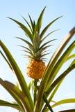 De Installatie van de ananas Royalty-vrije Stock Fotografie