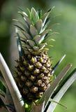 De Installatie van de ananas Stock Fotografie