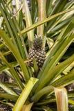 De installatie van de ananas Royalty-vrije Stock Foto's