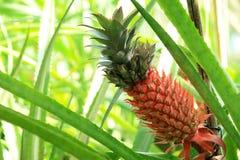 De Installatie van de ananas (comosus van de Ananas) Stock Afbeeldingen