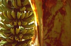 De installatie van de banaan Royalty-vrije Stock Fotografie