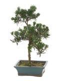 De installatie van de bonsai Royalty-vrije Stock Afbeelding