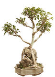 De installatie van de bonsai in een pot Royalty-vrije Stock Fotografie