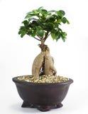De Installatie van de bonsaipot Royalty-vrije Stock Afbeeldingen