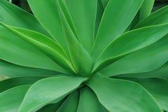 De Installatie van de Cactus van de agave Stock Foto